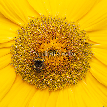 a bee hovering while collecting pollen