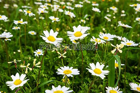 daisy flower meadow green grass spring