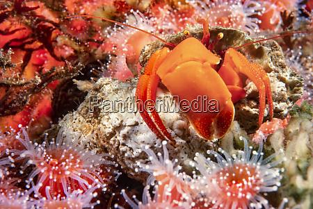 this orange hermit crab elassochirus gilli