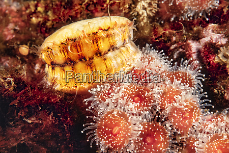a swimming scallop chlamys hastata and