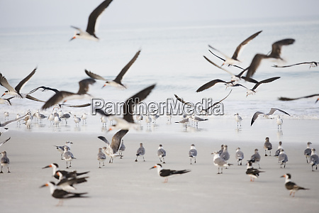 flock of terns on the beach