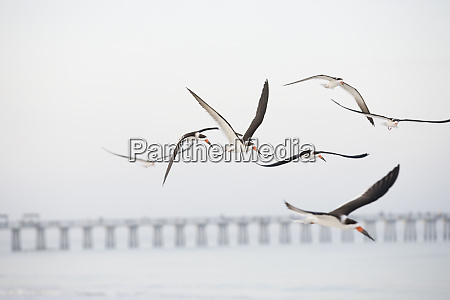 flock of terns flying over the