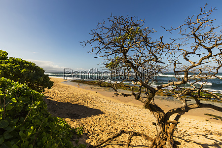 a leafless tree on hookipbbeach with