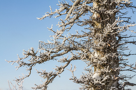 ice covered tree against a blue