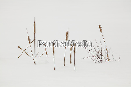 ice covered autumn grasses in snow