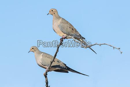 pair of mourning doves zenaida macroura