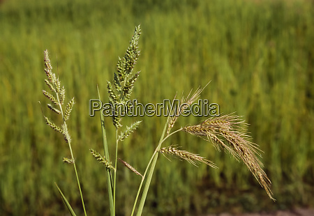 agriculture weeds inflorescence of barnyardgrass