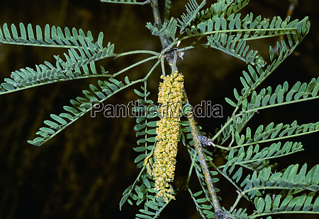 agriculture weeds velvet mesquite prosopis