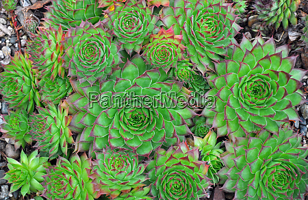 green hens and chicks plants