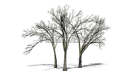 several american elm trees in the