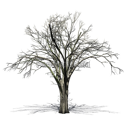 american elm tree in winter with
