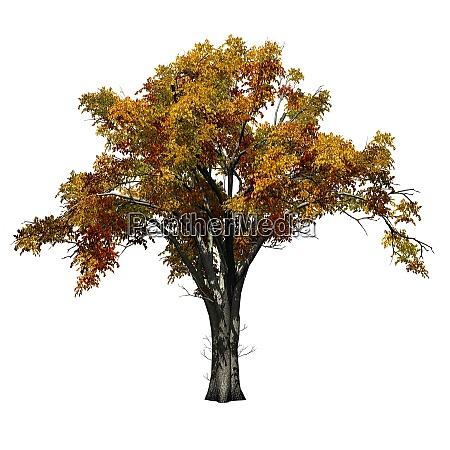american elm tree in autumn