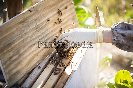 bees on beekeepers hand