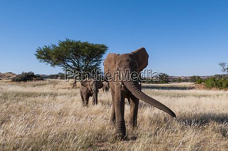 herd of desert elephants loxodonta africana