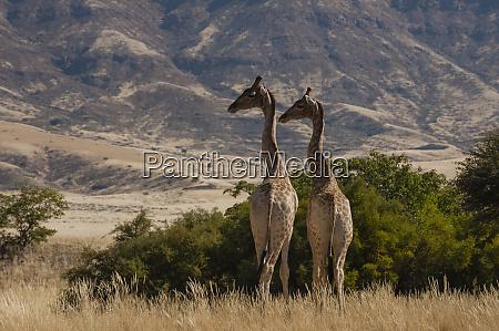pair of giraffes giraffa camelopardalis skeleton