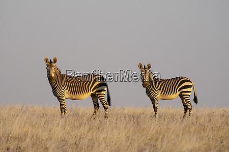 pair of hartmanns mountain zebras equus