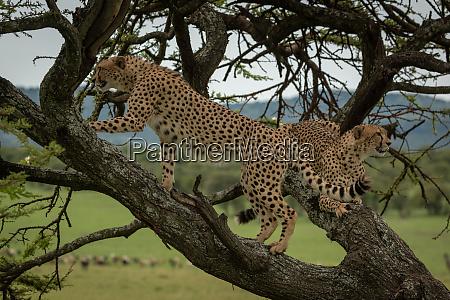 male cheetah climbs tree branch beside