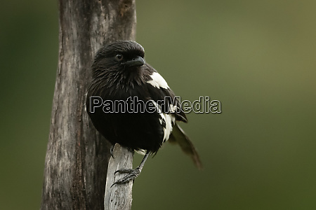 magpie shrike clings to vertical dead