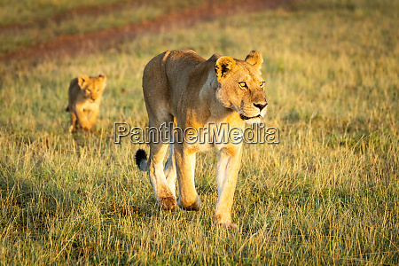 lioness walks with cub past dirt