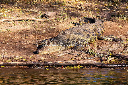 nile crocodile in chobe river botswana
