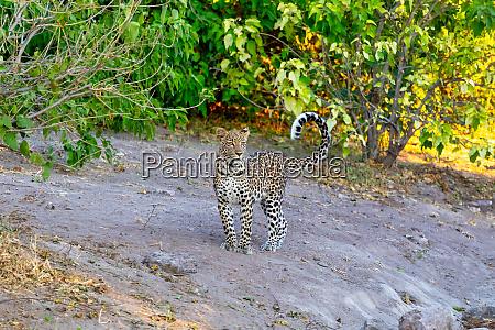 african leopard chobe botswana africa wildlife
