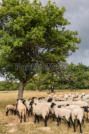 flock of sheep standing on a