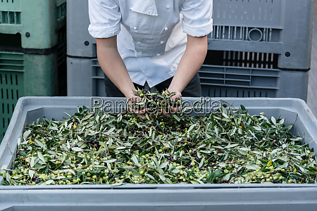 chef checking quality of olives in
