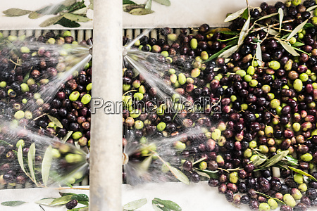 olives being washed in machine at
