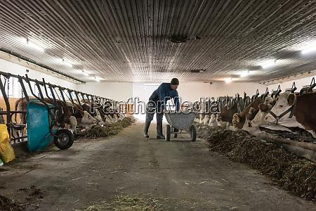 farmer feeding his cows shoveling food