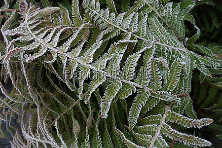 hoarfrost on the leaves of a