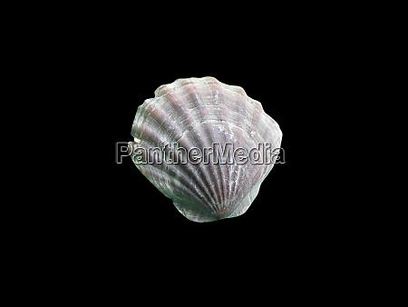 shiny macro single seashell isolated on