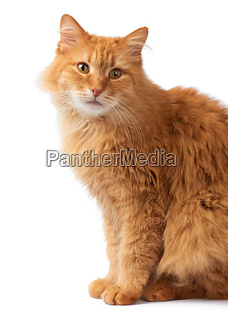 portrait of an adult fluffy red
