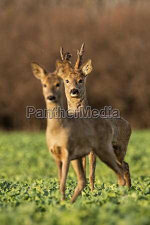 roe deer capreolus capreolus couple at