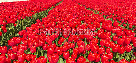 red tulips flowers blooming on a