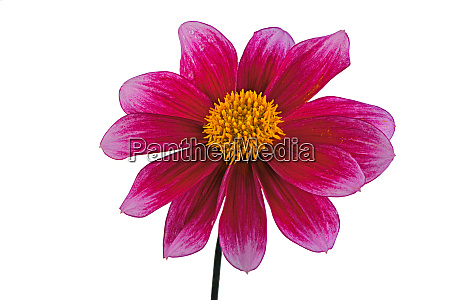 isolated red dahlia flower blossom