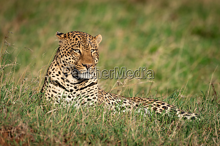 male leopard lies in grass looking