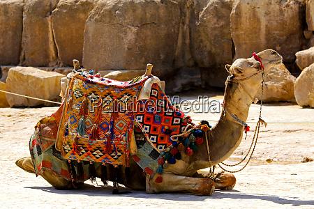 camel lay