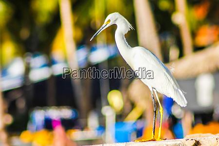 bubulcus ibis in dominican seashore 20