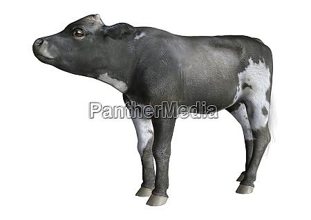 3d rendering calf on white