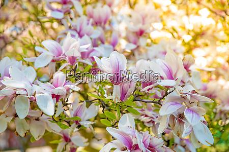 flowering magnolia tree close ups on