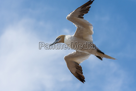 flying northern gannet with blue sky