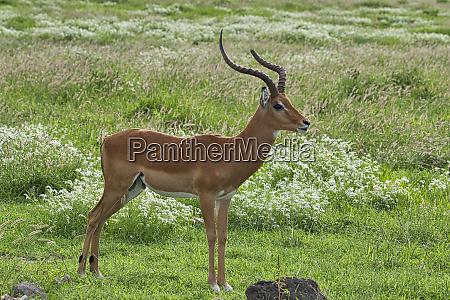 antelopes in the national park tsavo