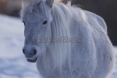 yakut horses in the winter in