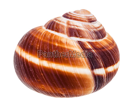 shell of edible snail isolated on