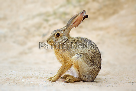 alert scrub hare south africa