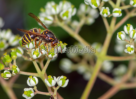 wasp on the blossoms of a