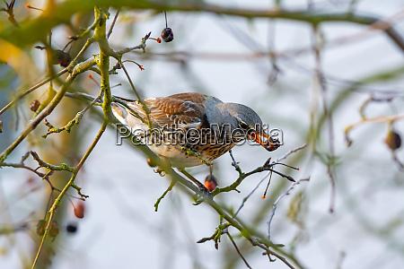 fieldfare bird picking an apple