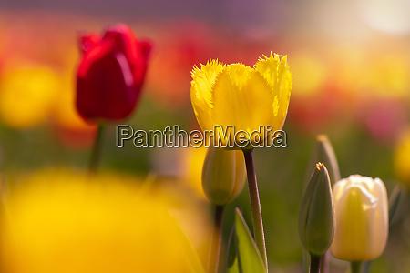 romantic scene of a tulip field
