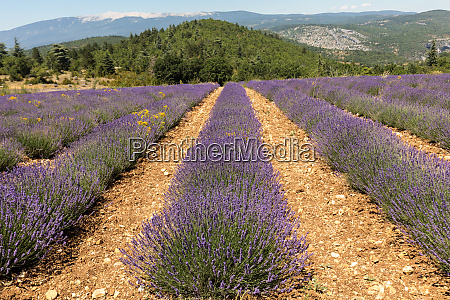 lavender field near sault in provence