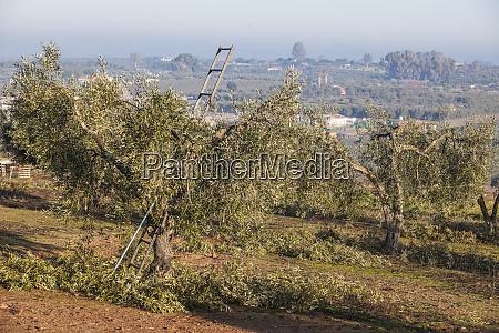 ladder at pruning season in an